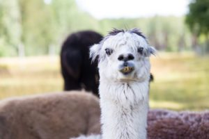 Raising Llamas for Profit - Chapter one - Watch out for spit!