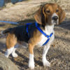 alert beagle
