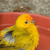 cute-saffron-finch-bird_fyMNOwFO