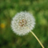 I'm just a dandelion!